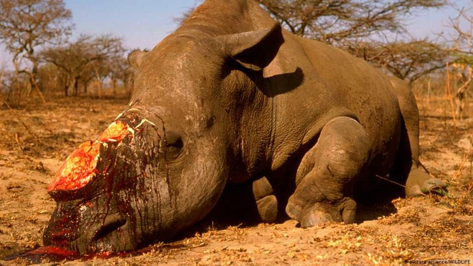 DeHorned Rhino in South Africa