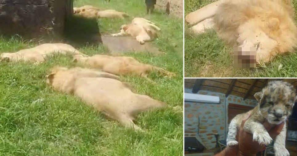 15  lions slaughtered